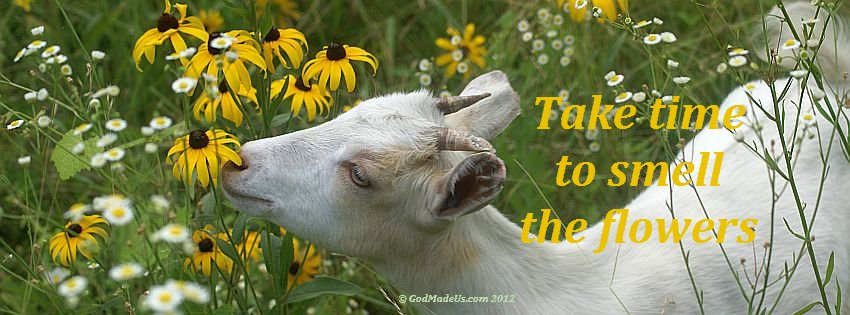 Image of a baby goat smelling flowers with the words: Take time to smell the flowers.