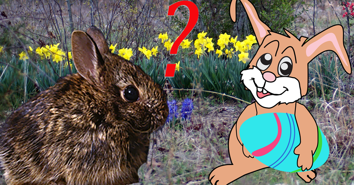 Picture of a real bunny with a question mark and a cartoon Easter bunny.