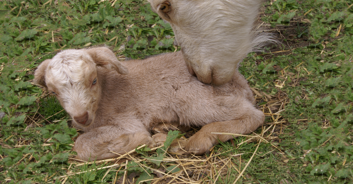 A mother goat and her baby.