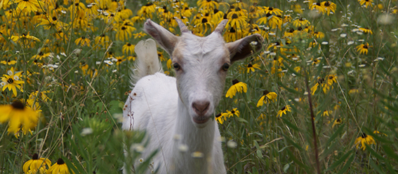Picture of a goat among flowers